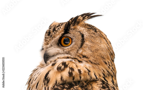 Wall mural Head of adult Eurasian eagle owl, isolated on white background. The horned owl. Side view.