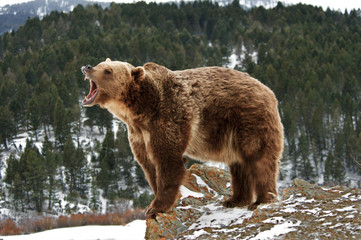 Angry Grizzly Bear on Rocks