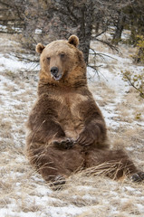 Wall Mural - Grizzly Sitting by Tree