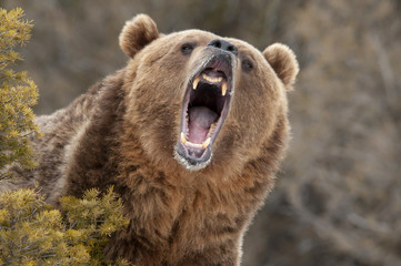 Angry Grizzly Bear behind bush