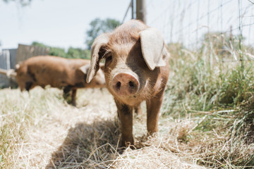 Pigs standing on grassy field at farm during sunny day