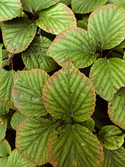 Wide leaves of tropical plants background. Green plant texture