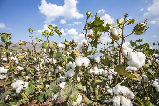 Cotton field (Turkey Izmir)