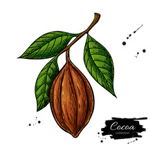 Cocoa branch vector superfood drawing. Organic healthy food sket