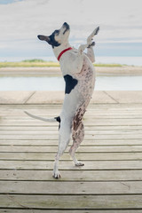 A terrier dog dancing upright on a lakeside deck.