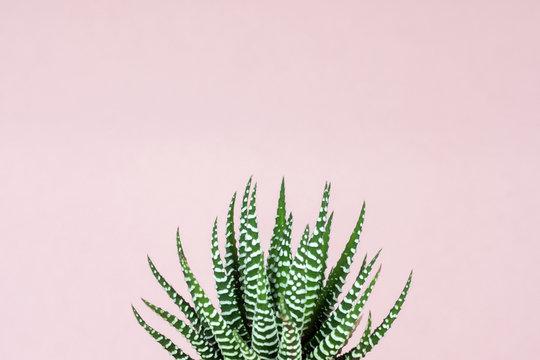 Zebra print succulent on pastel pink background