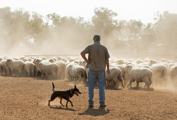 sheep mustering in outback New South Wales, Australia.