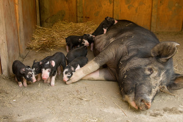 Berkshire hog mother pig with piglets