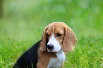Beagle dog sitting on the green grass outdoor.