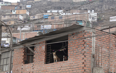 A dog stands at the window of a home at the Carabayllo district of Lima