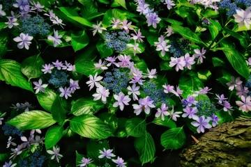 Beautiful Purple Hydrangea Flowers In Japan