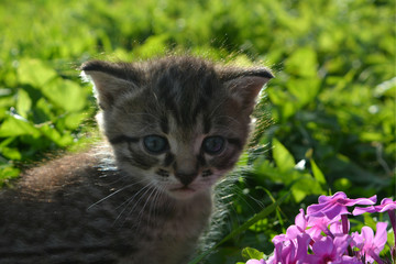small gray striped kitten against a background of green grass and pink flowers. cute domestic pet