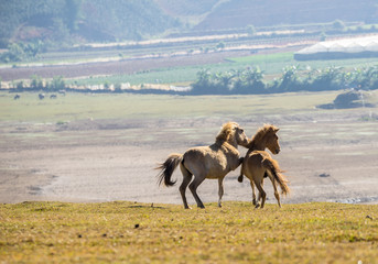 The wild horses playing and relax on yellow grass , in Suoi Vang valley ( golden valley) a farmous tousim in Dalat ciity
