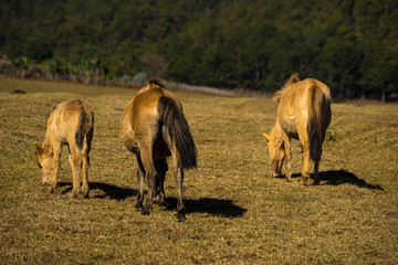 group of wild horses in Golden valley- Suoi vang valley -a famous eco-tourism area near by Da  Lat city- Lam Dong - viet nam