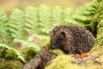 A stunning Hedgehog (Erinaceidae) in its mossy woodland habitat.
