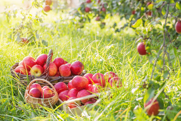 red apples on green grass in orchard
