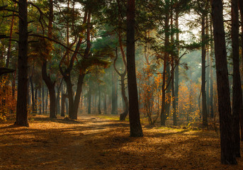 walk in the forest. morning. Sun rays. beauty. autumn.