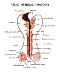 Male reproductive system illustration