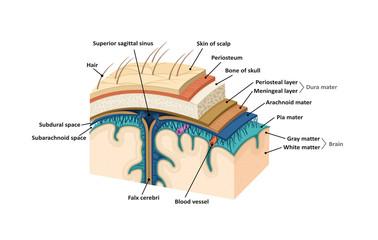 Meninges. Human brain