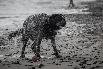 Dog shaking off water at seaside