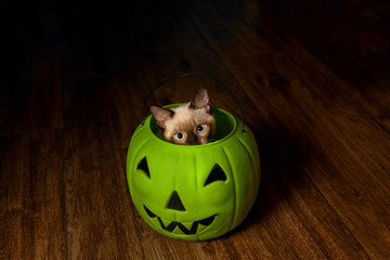 Seal Point Cat Peeks Out of a Plastic Green Jack-O-Lantern
