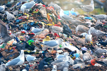 lot of many sea gulls in city garbage dump finding and catch  used food
