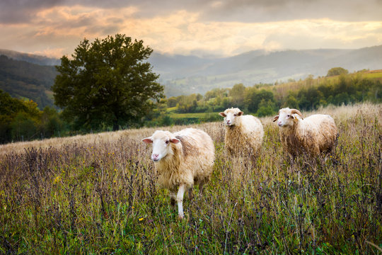 two sheep and ram walk through grassy meadow. mysterious countryside scenery with oak tree in the distance. far away mountains in morning haze under the gorgeous sky. find your place in life concept