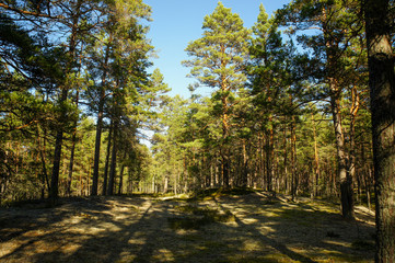 Pine forest at noon