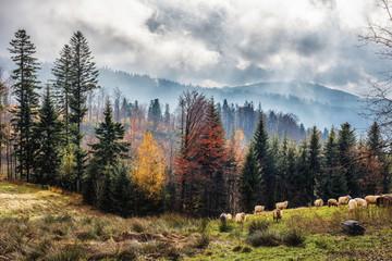 Fototapeta Jesień w Polskich górach i pasące się owce. Pochmurne, mistyczne  niebo i mgły. Na drzewach kolorowe liście. Piękna jesienna , malownicza tapeta.