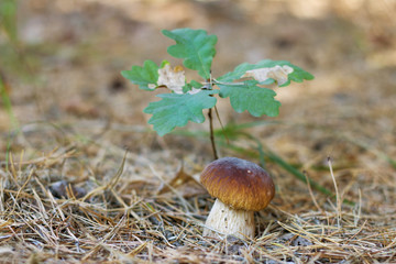 cep mushroom under oak tree
