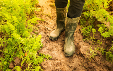Farmer's legs in rubber boots on carrot field - agriculture