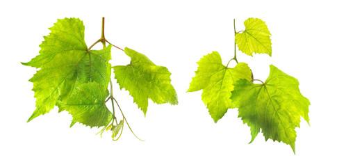 Fototapete - isolated image of grape leaves