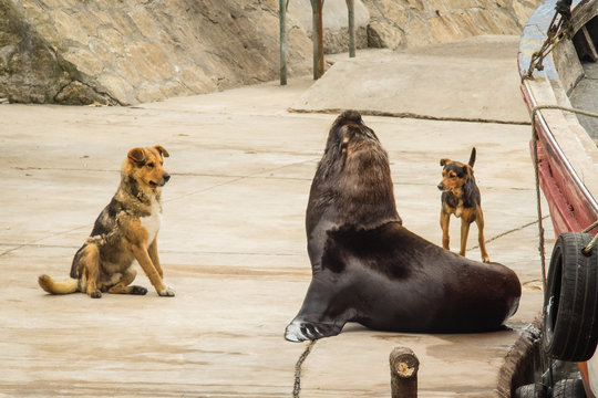 fishing port and sea lions and dogs, city of Mar del Plata, Argentina