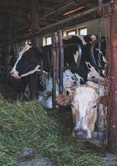 Cows inside the barn on dairy farm.