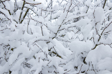 snow covered trees,fruit trees are covered with snow in the garden