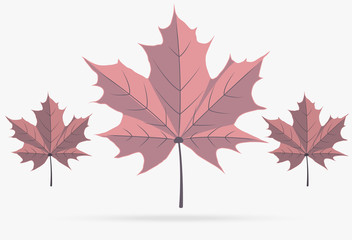 autumn pink maple leaf fall isolated on white background