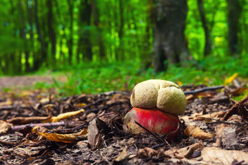 Boletus satanas mushroom in forest