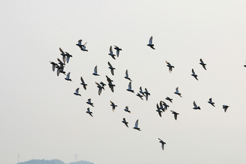 A flock of pigeons flying in the sky
