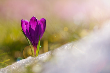 View of magic blooming spring flowers crocus growing from snow in wildlife. Amazing sunlight on spring flower crocus.Beautiful nature.