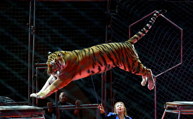 "Artist performs with a tiger during the presentation of the new show ""Circuses of the world"" at the Belarus State Circus in Minsk"