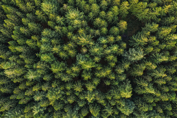 Aerial top view of pine trees in forest. Drone photography