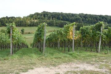 rijpe druiven aan de wijnranken van een wijngaard in Zuid Limburg