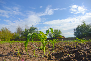 Young Corn Plants. Young green corn growing on the field.