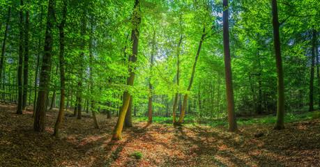 Landschaft Wald Mischwald aus Buchen und Nadelbäumen leuchtet zauberhaft im Gegenlicht - Landscape forest mixed forest of beeches and conifers glows enchantingly in the back light
