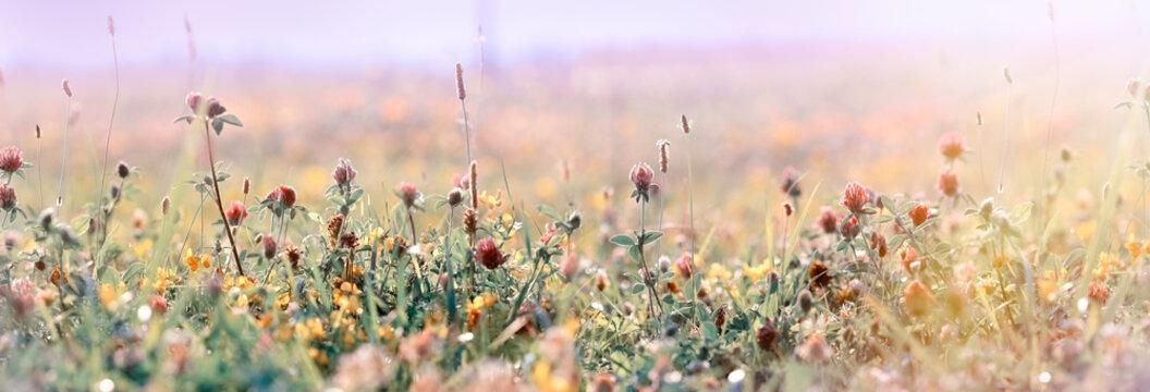 Beautiful meadow, flowering meadow flowers, flowering red clover