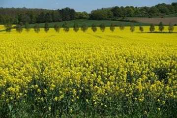 Gelbes Rapsfeld bis zum Horizont