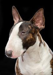Bullterrier Dog  Isolated  on Black Background in studio