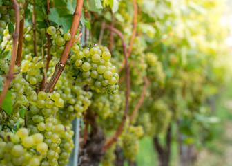 Pinot blanc grapes variety. Vitis vinifera 'Pinot Blanc'. Guyot Vine Training System, South Tyrol, Trentino Alto Adige, Italy.