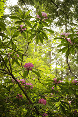 Wild rhododendrons fill the forest in the Pacific Northwest during the springtime