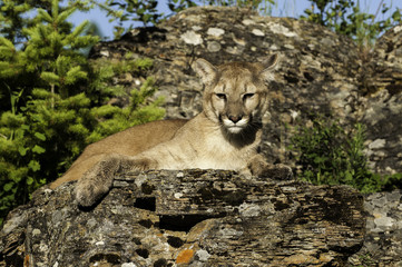 Wall Mural - Cougar on Rocky Ledge